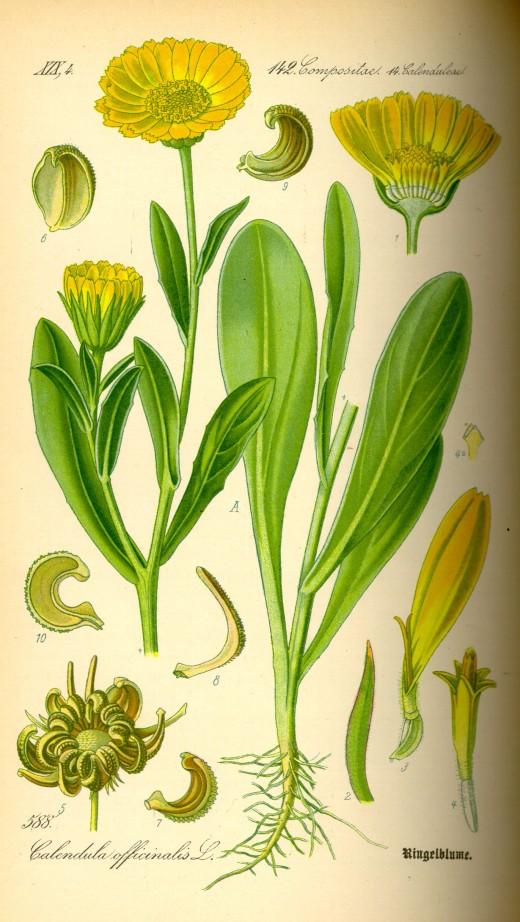 components of Calendula officinalis
