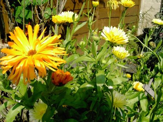 English marigolds enjoying the sun.