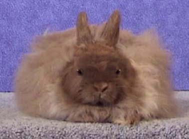 The Jersey Wooly rabbit, recommended for experienced and dedicated owners only.