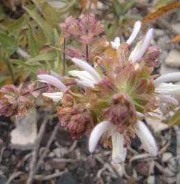 Canary Island Sage flower