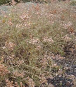 Canary Island sage bush