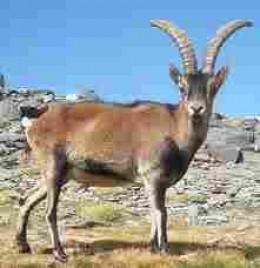 Iberian Ibex.  Long gone