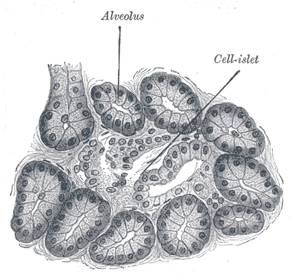 Pancreatic Cells. Lithograph produced from Gray's Anatomy.