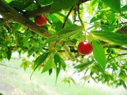 Aratilis: Muntingia, the Strawberry Tree