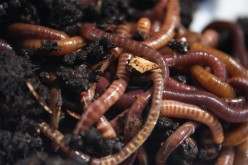 The best composting worm species for vermicomposting