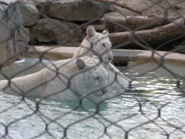These two White Tigers at the Secret Garden are extremely beautiful animals.