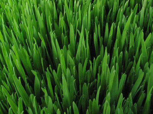 Fresh wheatgrass ready to be juiced