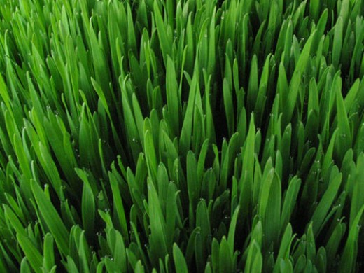 Fresh wheatgrass ready to be juiced