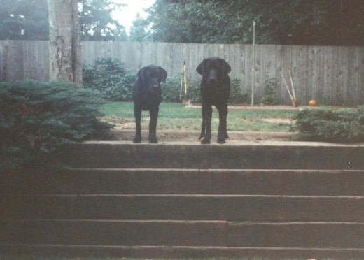 Mariah and Molly as Pups