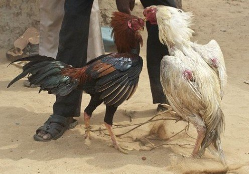 Cock fighting is gaining momentum as an animal blood sport because the animals are easy to keep in small spaces, and require less care than larger animals such as dogs.