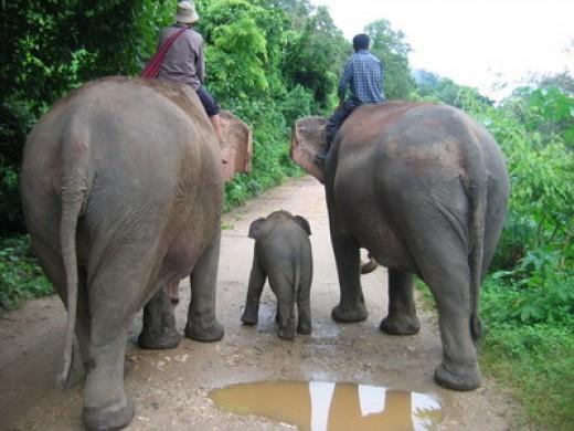 Chang = Elephant