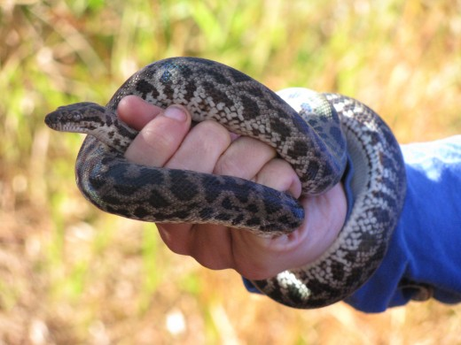 An Australian snake of the constrictor not venomous variety