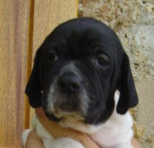 Does this boy pointer puppy look like Clement Freud to you?