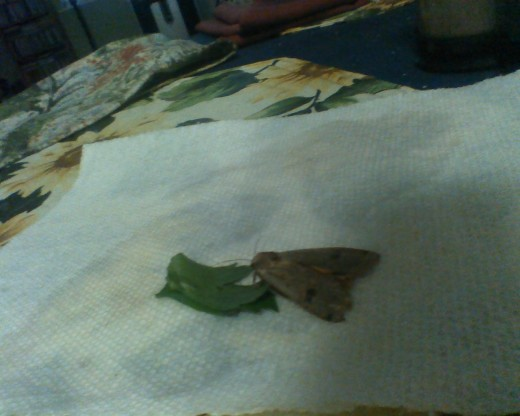 A rescued moth fed, healed and set free after a few days.