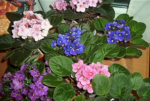 African Violets In Full Bloom