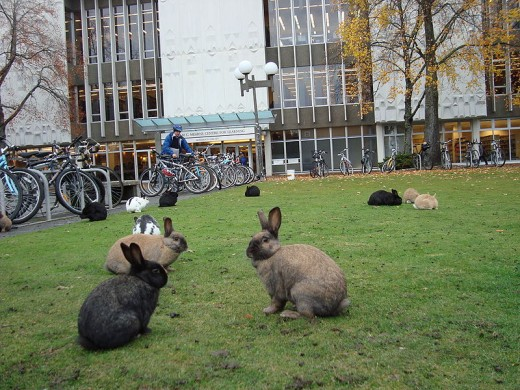 A few of the famous feral rabbits grazing in front of the library at the University of Victoria, as zero-emissions commuters come and go.  Courtesy Jeffery Nichols and Wikipedia.