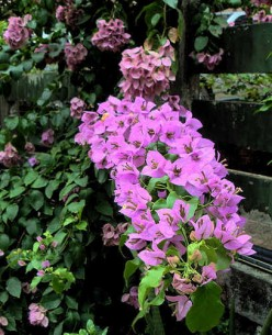 Among the Bougainvilles