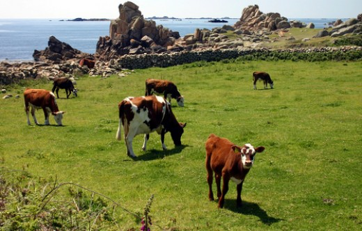 Cows on pasture land, Isles of Scilly