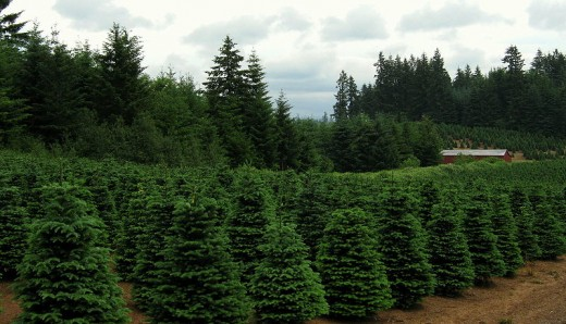 Christmas Tree Farm near Redland Oregon