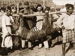 Humans have also been known to extinguish species via predation; here is the last Bali tiger, killed in 1937.  Image courtesy Wikipedia.