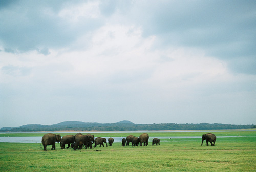 A herd of elephants marching towards water - Minneriya National Park