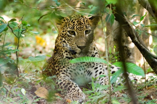 Leopard cub waiting in the shade for its mother to return - Vilpattu National Park