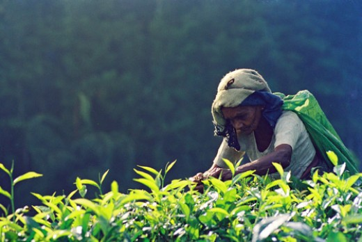 Elderly woman, plucking tea leaves in a low land plantation - Kudawa, Rathnapura