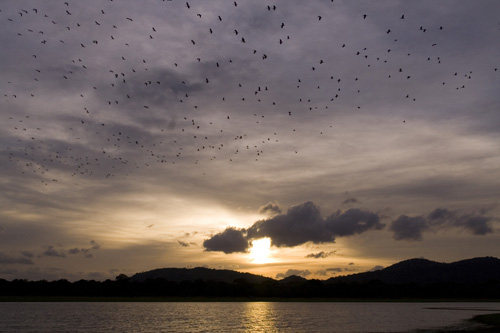 A flock of Open-Bills flying over a lake at dusk - Minneriya