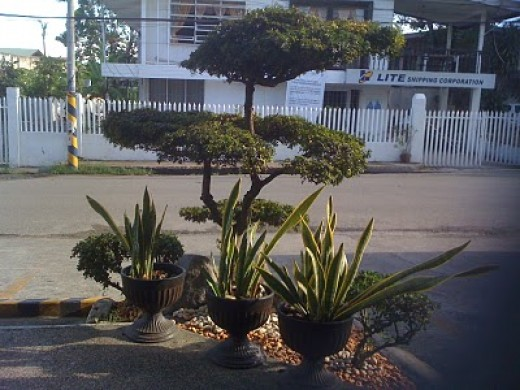 Nice bonsai in front
