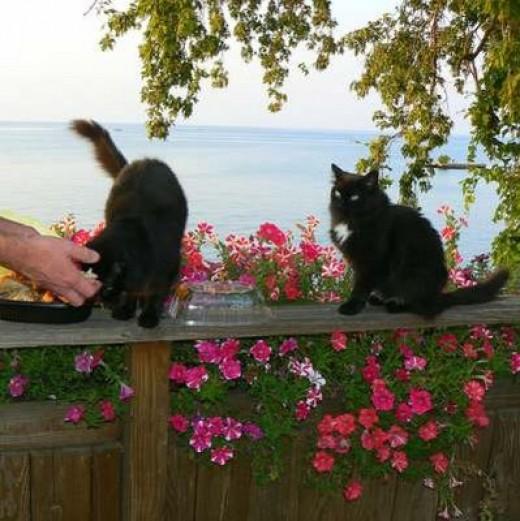 burmese cat rescue