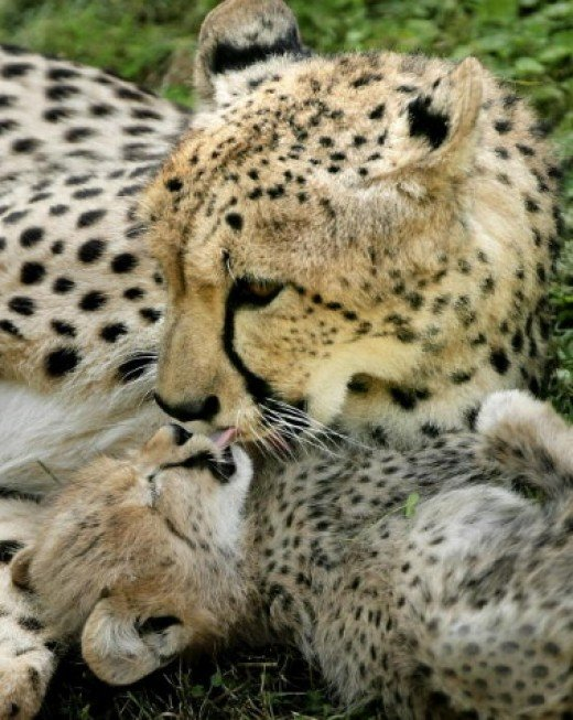 The Cheetah is one of the most endangered African animals.