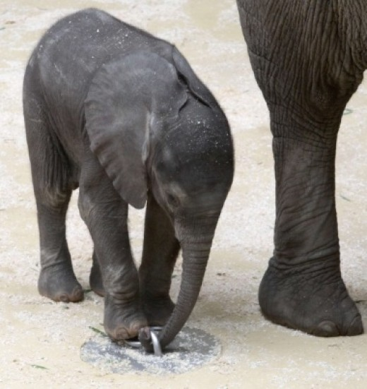 There are very few African Elephants left in the wild.