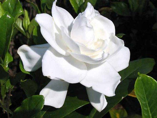 Beautiful fragrant Gardenia flower