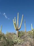 The Majestic Saguaro Cactus