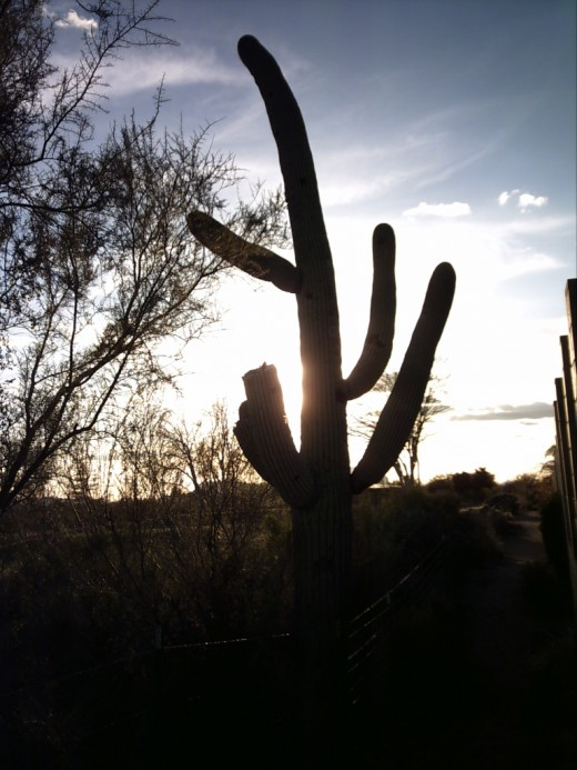 Saguaro Cactus Silhouetted against the evening sky.