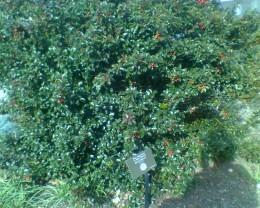 Blue Holly bush