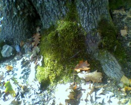 The base of an oak tree covered in moss