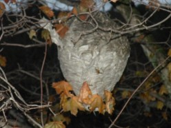 Wasps and Paper Nests-A Small Guide