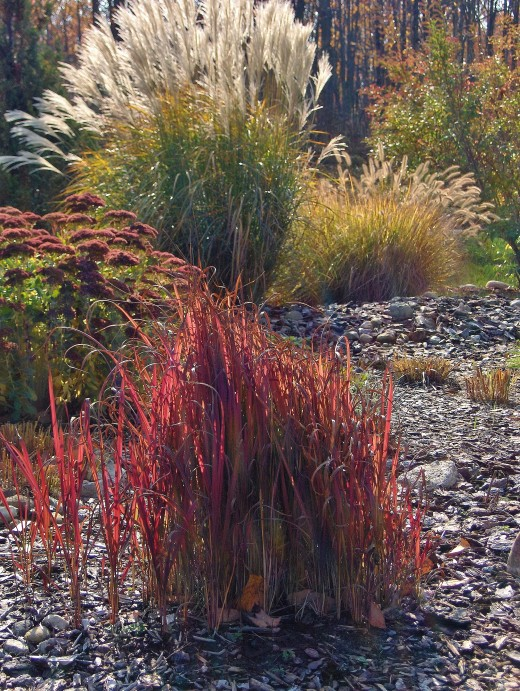 JAPANESE BLOOD GRASS with backdrop of GIANT SEDUM and JAPANESE SILVER GRASS next to FOUNTAIN GRASS