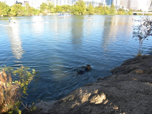 Dogs can enjoy a swim off leash park Lady Bird Lake Austin TX