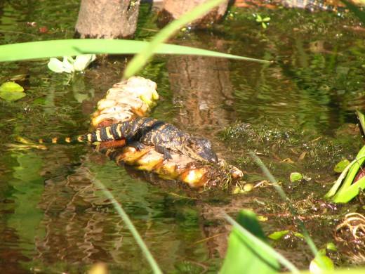 There's lots of babies in the spring time. Be careful! The momma gator is always near and she while defend them!