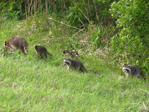 Family of Raccoons