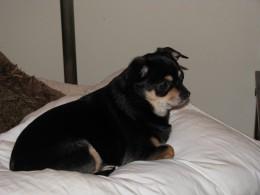 Roxie Chihuahua