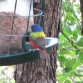 Painted Bunting, beautiful Song Bird