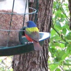 Painted bunting at our backyard feeder