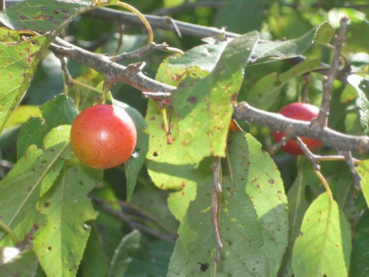 Chickasaw Plums
