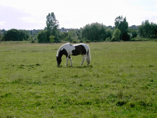 Grazing horses are particularly prone to ragwort poisoning.