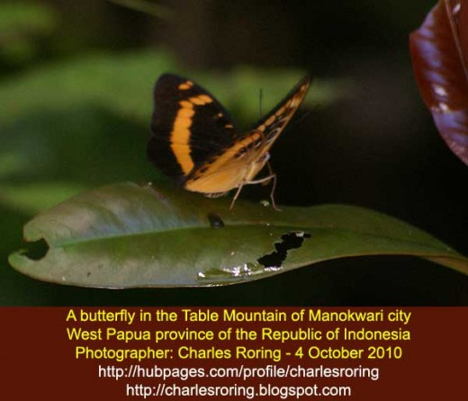Butterfly in the rainforest of Table Mountain of Manokwari city - the Republic of Indonesia