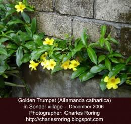 Golden trumpet flower (alamanda) in Sonder village