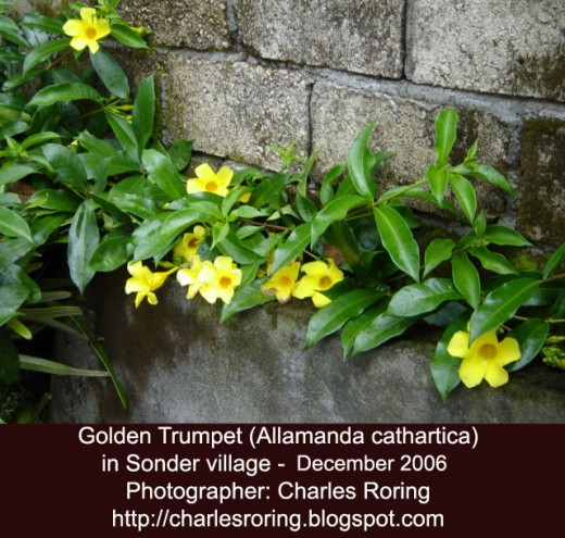 Golden trumpet flower (alamanda) in Sonder village